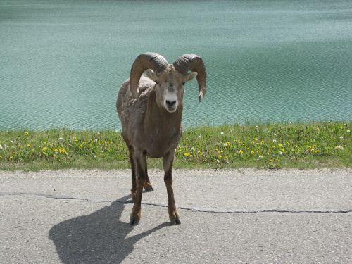 aries horn mammal