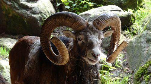 aries mammal horn