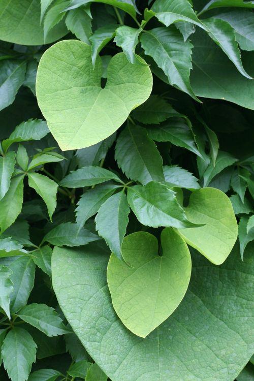 aristolochia wielkolistny aristolochia durior creeper