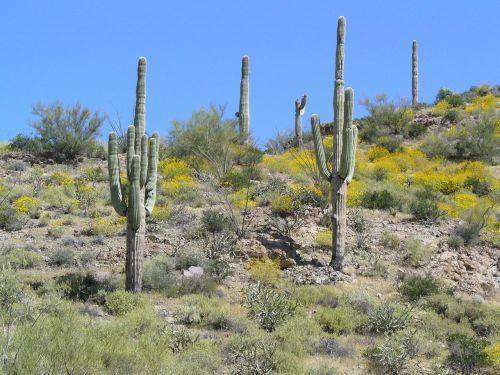 arizona desert cactus