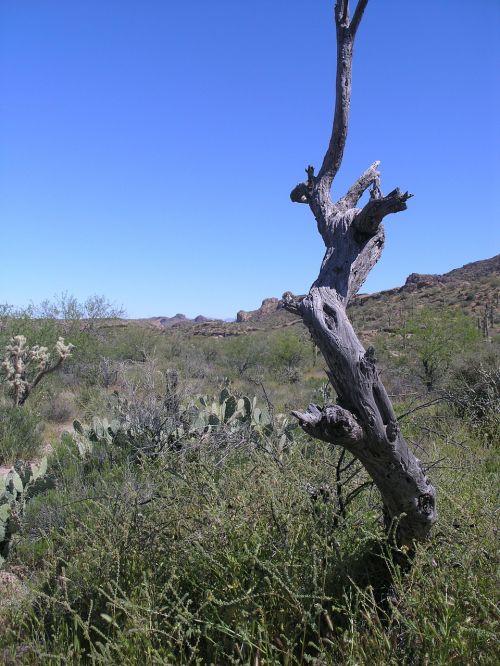 Arizona,dykuma,medis