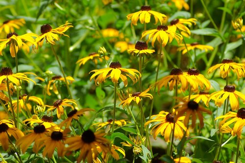 arkansas black-eyed susans  arkansas  blackeyed