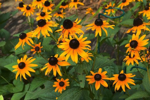 arkansas blackeyed susans  arkansas  blackeyed