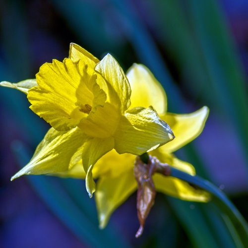 arkansas jonquil  garden  bloom