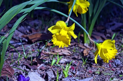 arkansas narcissus  garden  bloom