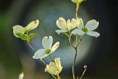 arkansas ozarks dogwood  dogwood  flowers