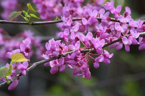 arkansas redbud blossoms  redbud  tree