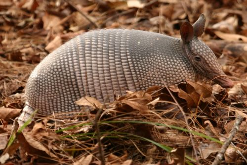armadillo shell mammal