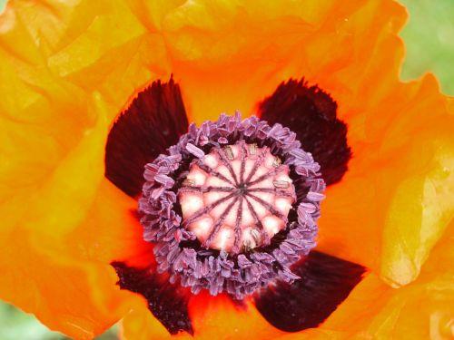 armenian poppy capsules