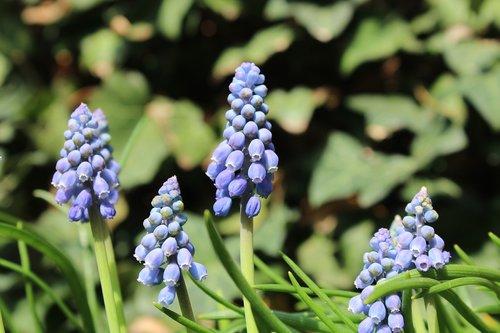 armenian grape hyacinth  flower  spring