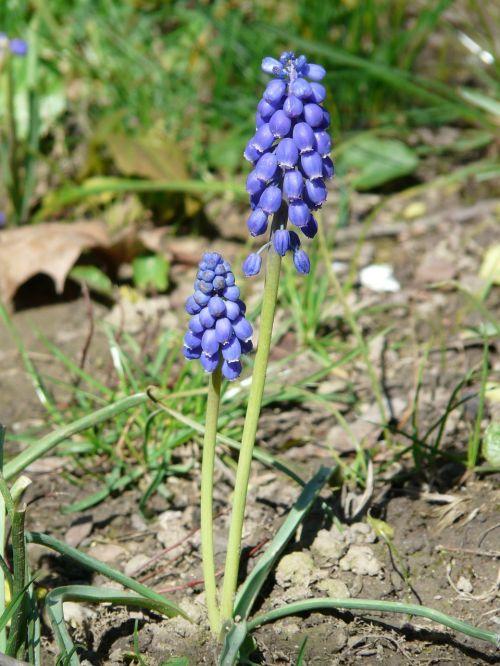 armenian traubenhyazinthe flower blossom