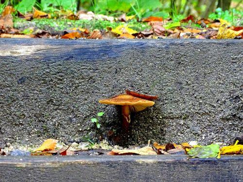 armillaria mellea mushroom stair step