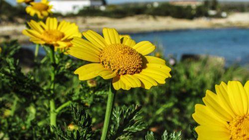 arnica flower blossom