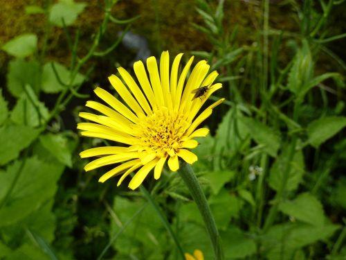 arnica yellow blossom