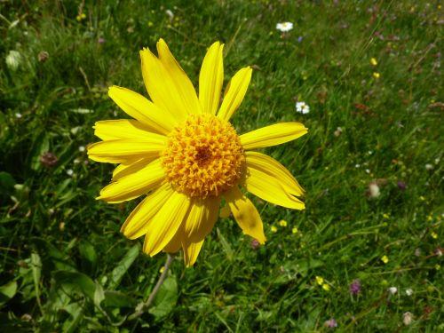 arnica markstein flowers mountain flower