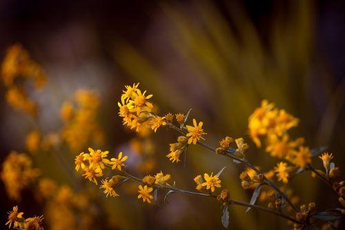 arnica pointed arnica flower