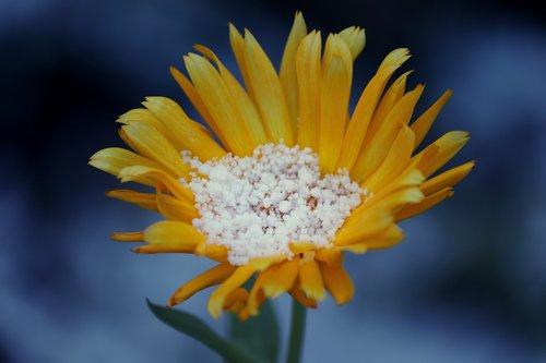 arnica  arnica montana  blossom