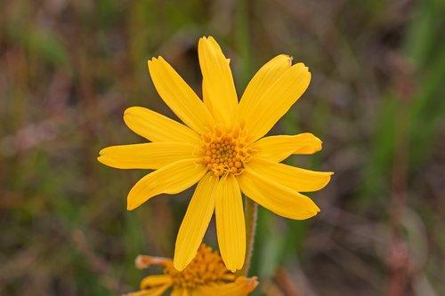 arnica  flower  natural