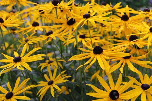 arnica flower medicinal plant