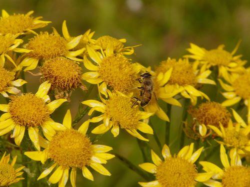 arnica arnica montana medicinal plant