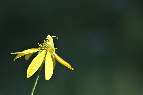 arnica flower  crab spider  misumena vatia