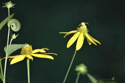 arnica flowers  leaves  crab spider