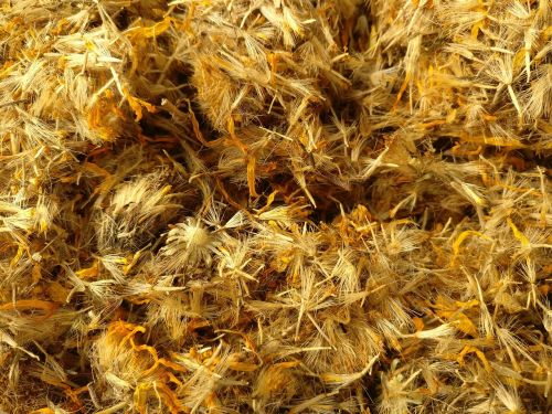 arnica montana arnica dried