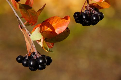 aronia berry autumn