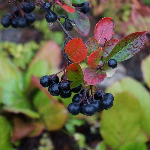 aronia aronia berries are black berries