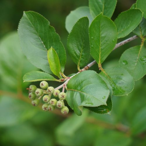 aronia berries are raw matures