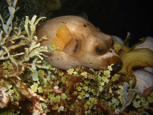 arothron nigropunctatus fish sea