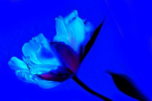 art tulip blue