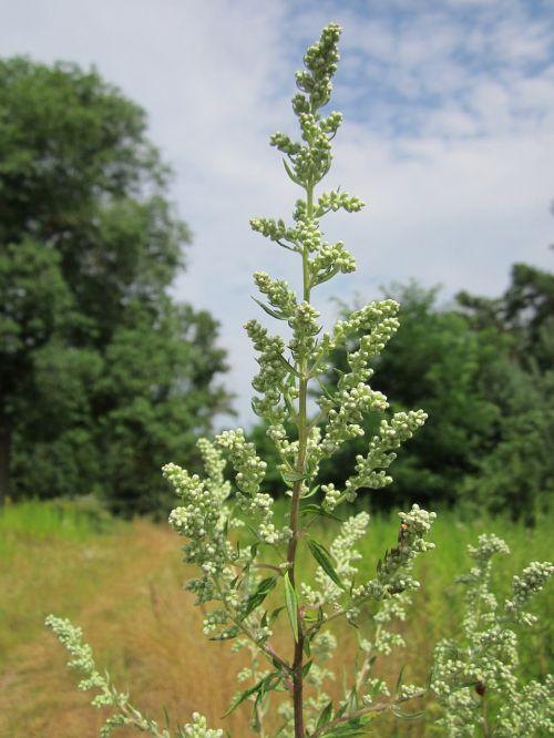 artemisia vulgaris mugwort common wormwood