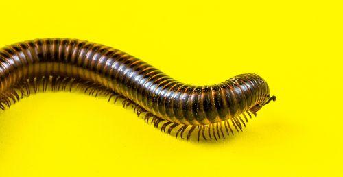 arthropod giant tausendfüßer millipedes