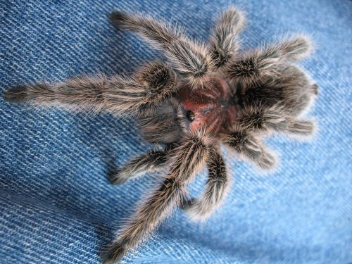 arthropods spider tarantula