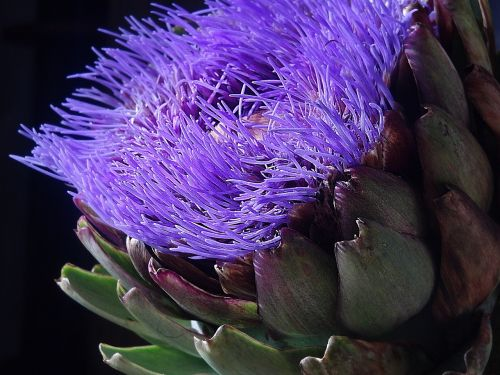 artichoke blossom bloom