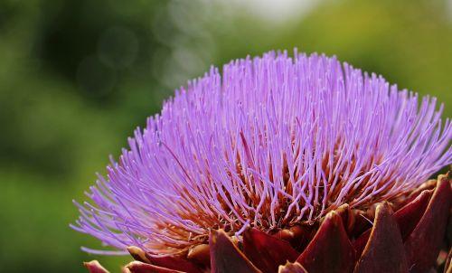 artichoke artichoke flower blossom