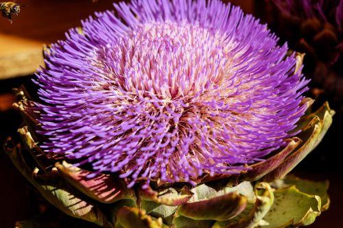 artichoke vegetables blossom