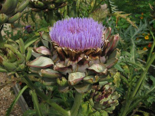 artichoke artichoke flower garden