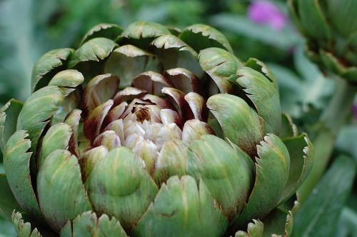 artichoke vegetable artichoke flower