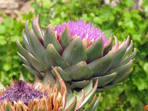 artichoke artichoke flower bracts