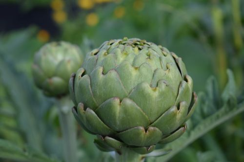 artichoke cultivation grow