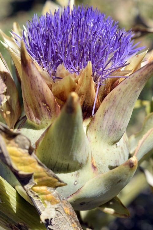 artichoke artichoke flower flower