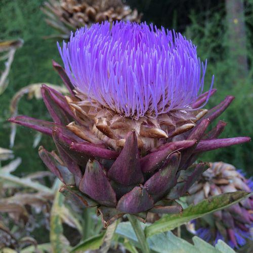 artichoke purple beautiful