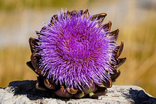 artichoke  bloom  blossom