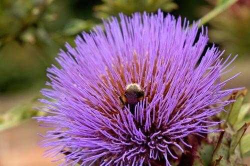 Artichoke And Bee