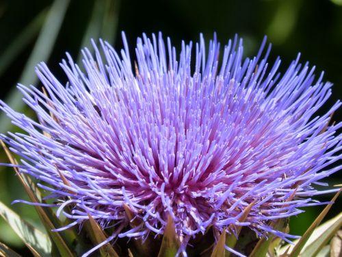 artichoke flower purple beauty