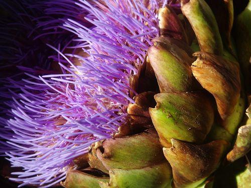 artichoke flower artichoke purple