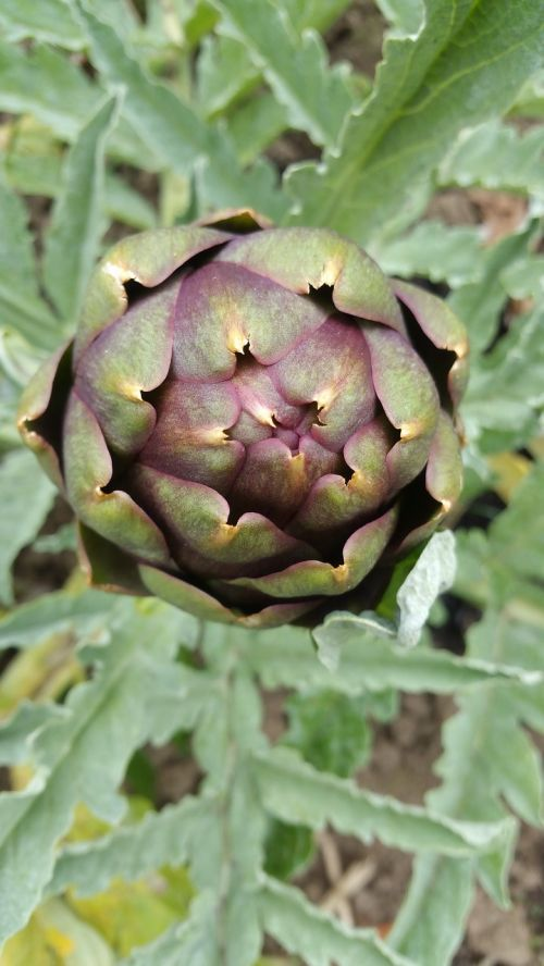 artichoke plant artichoke vegetable