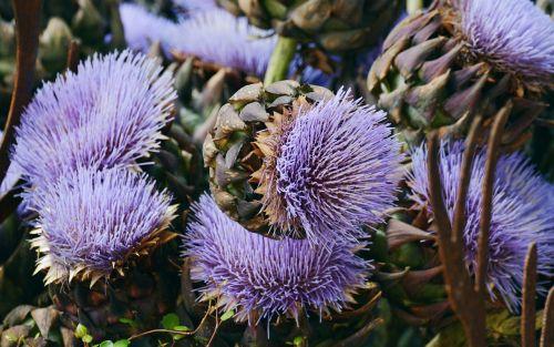 artichokes artichoke flower artichoke plant